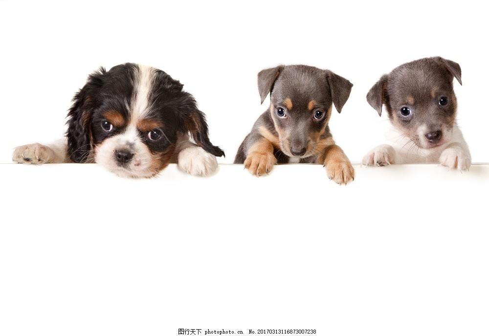 三只小狗与空白广告牌 三只小狗与空白广告牌图片素材 动物 宠物
