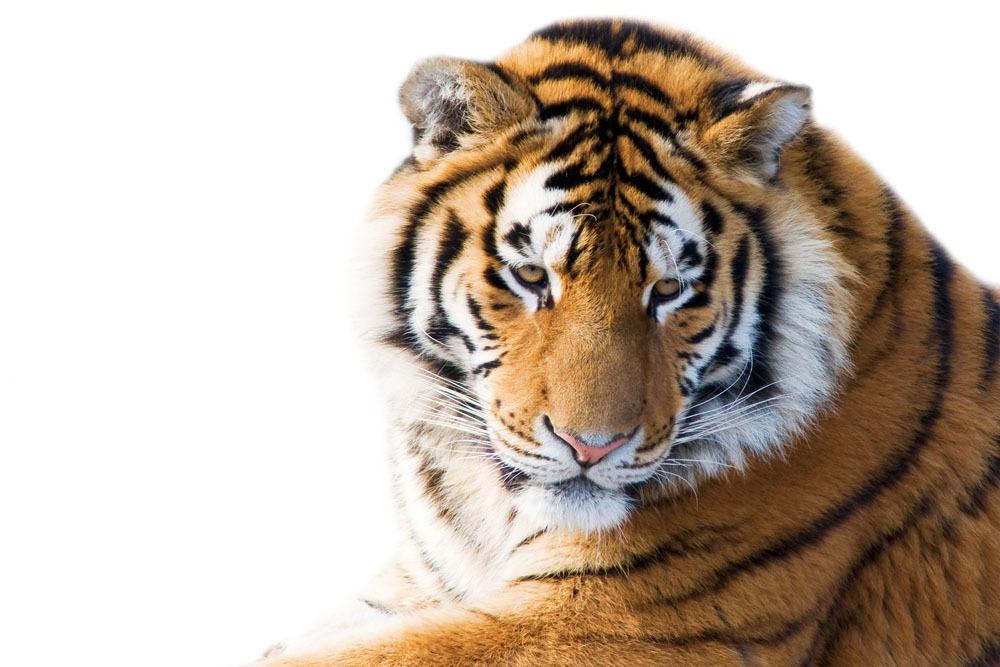 老虎图片素材 老虎 猫科动物 动物世界 陆地动物 生物世界 图片素材