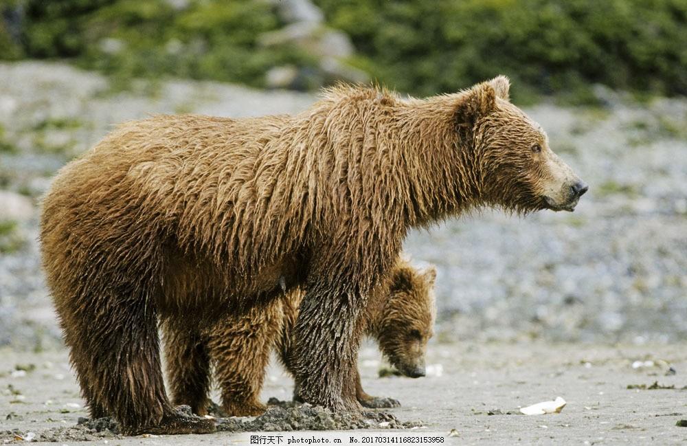 母熊与小熊 母熊与小熊图片素材 脯乳动物 保护动物 狗熊 棕熊