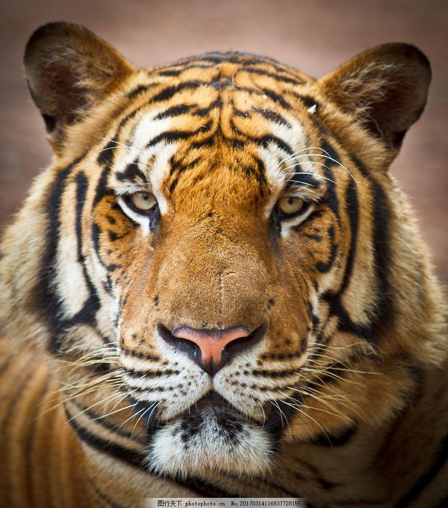 老虎摄影图片素材 老虎 虎 猫科动物 动物世界 野生动物 陆地动物