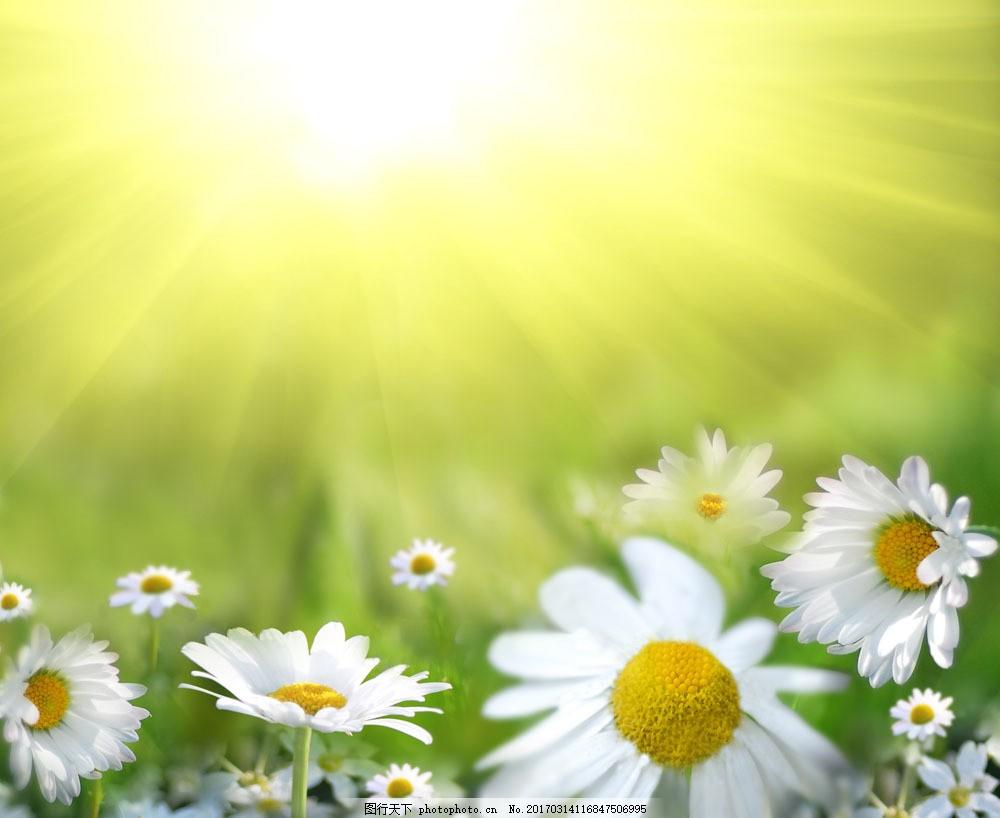 洋甘菊花丛风景图片素材 洋甘菊 阳光 光芒四射 自然 清新 花 花朵