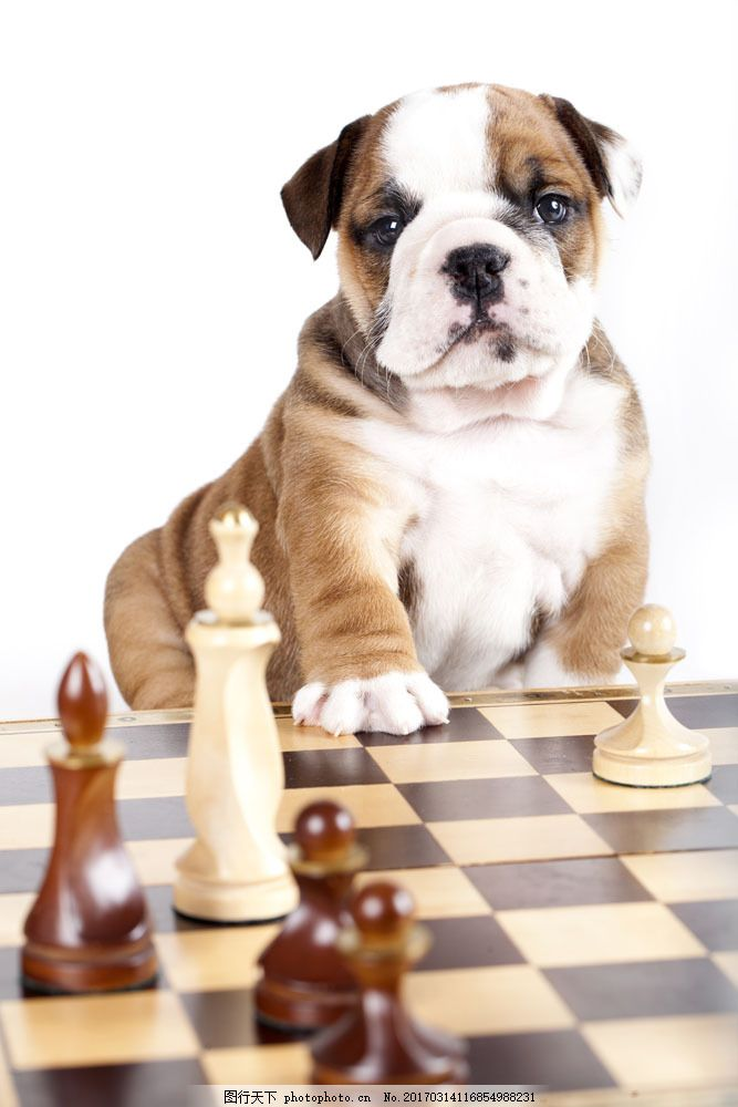 国际象棋 小狗 宠物狗 可爱狗狗 宠物 动物世界 狗狗图片 生物世界