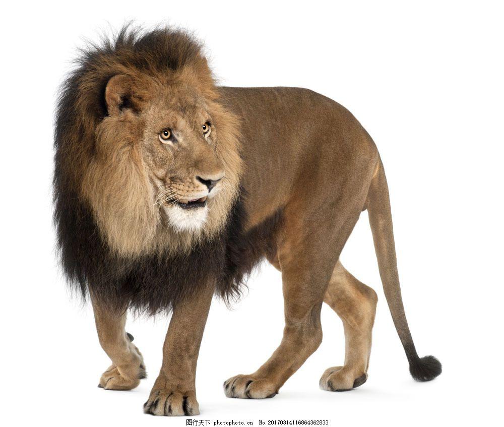 高清狮子素材图片素材 动物 动物摄影 野生动物 动物世界