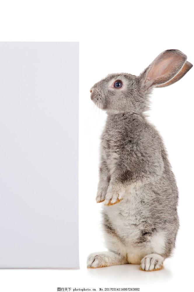 站立的灰色小兔子 站立的灰色小兔子图片素材 动物 小动物 动物素材