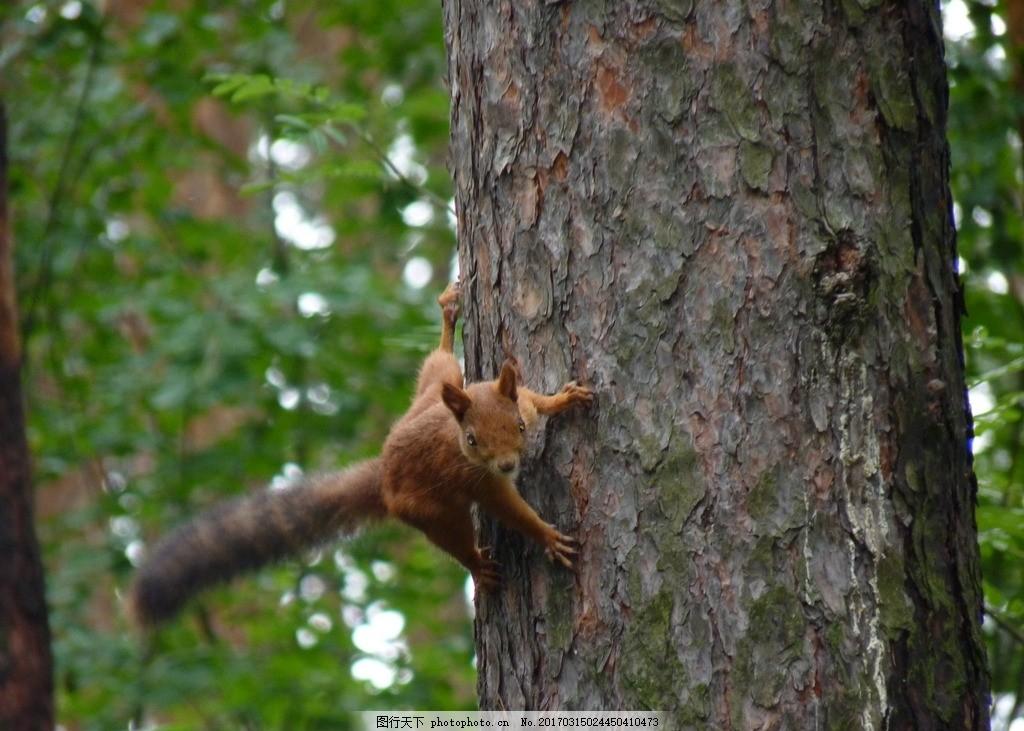 松鼠 森林 松树 旅游 小动物 摄影