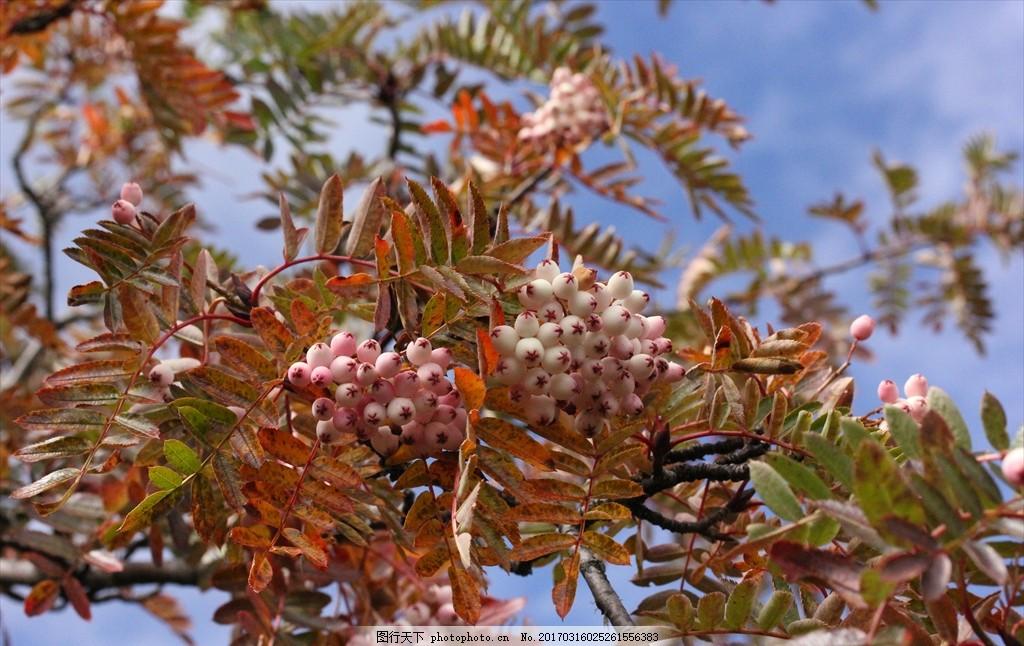 花楸 植物摄影 风景摄影 高山植物 壁纸 植物 落叶灌木 小乔木 绿