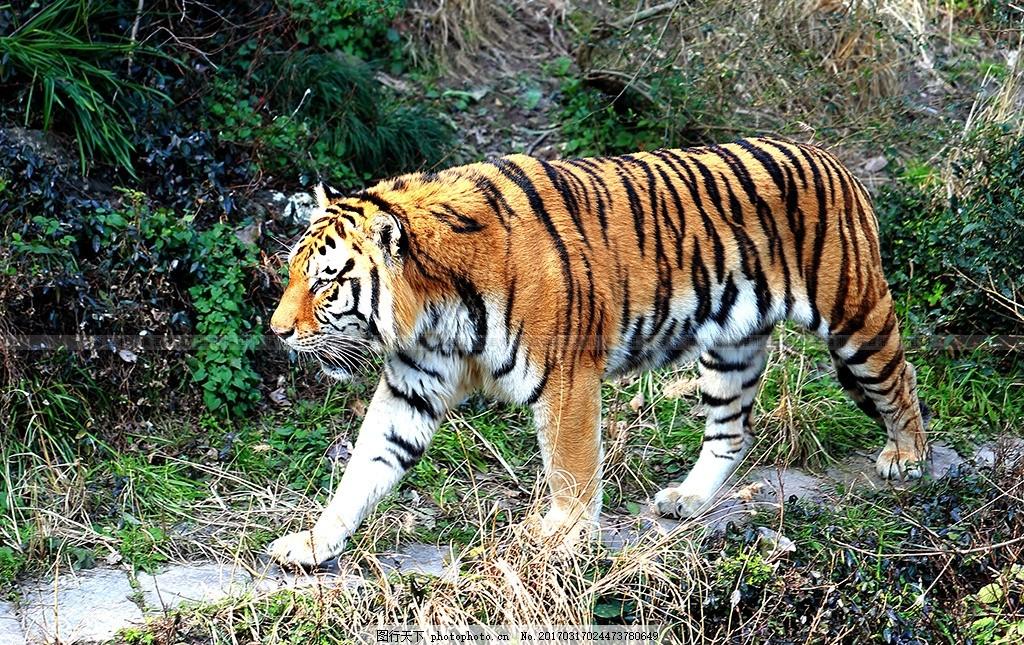 老虎 虎 摄影      兽 凶猛动物 动物 王 森林王 漫步 悠闲 摄影 生物