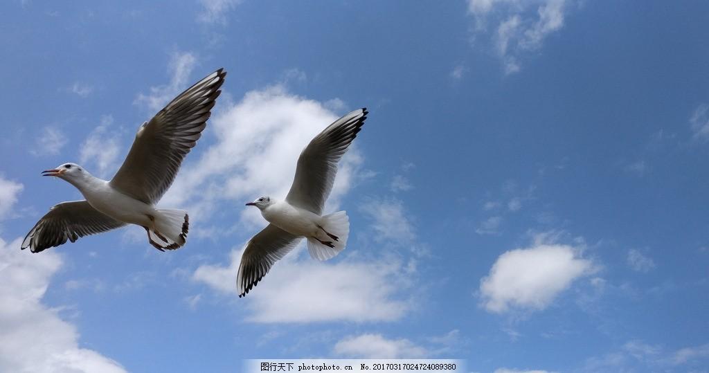 飞翔的海鸥 海鸟 鸟儿 天空 蓝天 云朵 自然生物 摄影