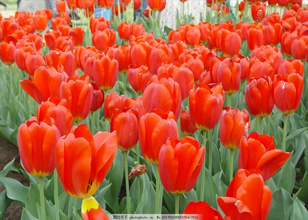 郁金香 红花 红色 花草 花丛 花 屏保 桌面 壁纸 温馨 甜蜜 美好 红火