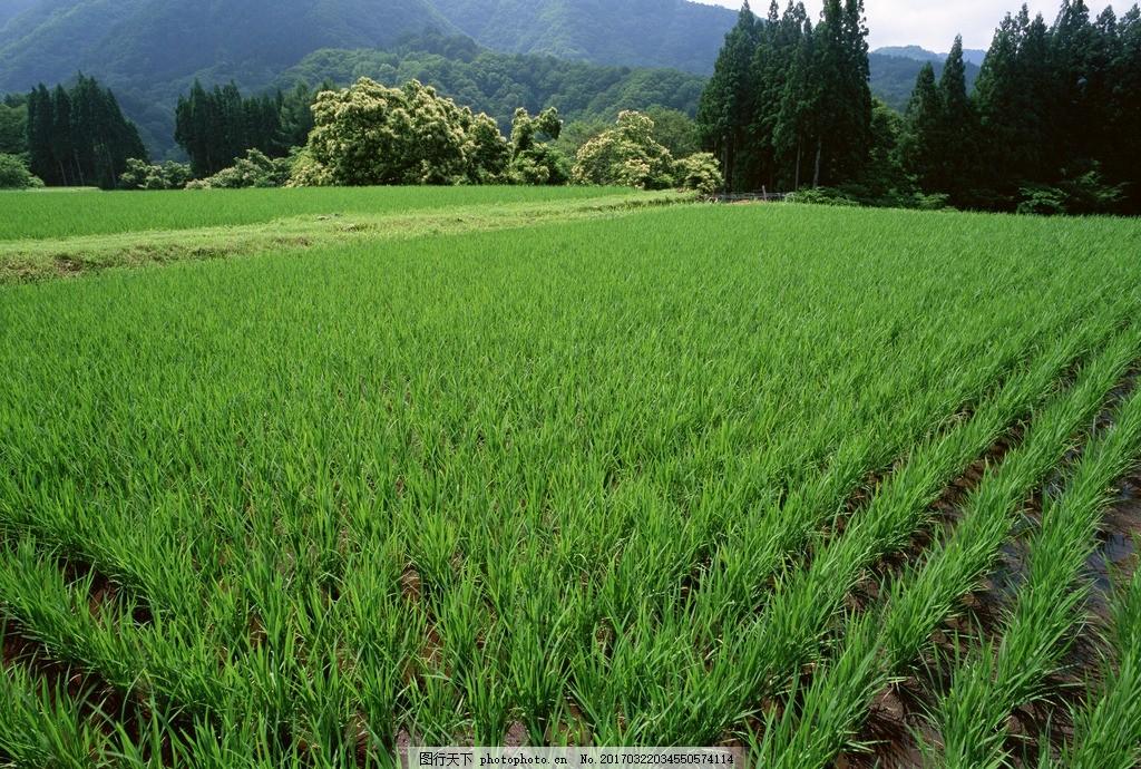 绿油油的稻田 农田 田园 田野 乡村田园 摄影 自然风景山水田园