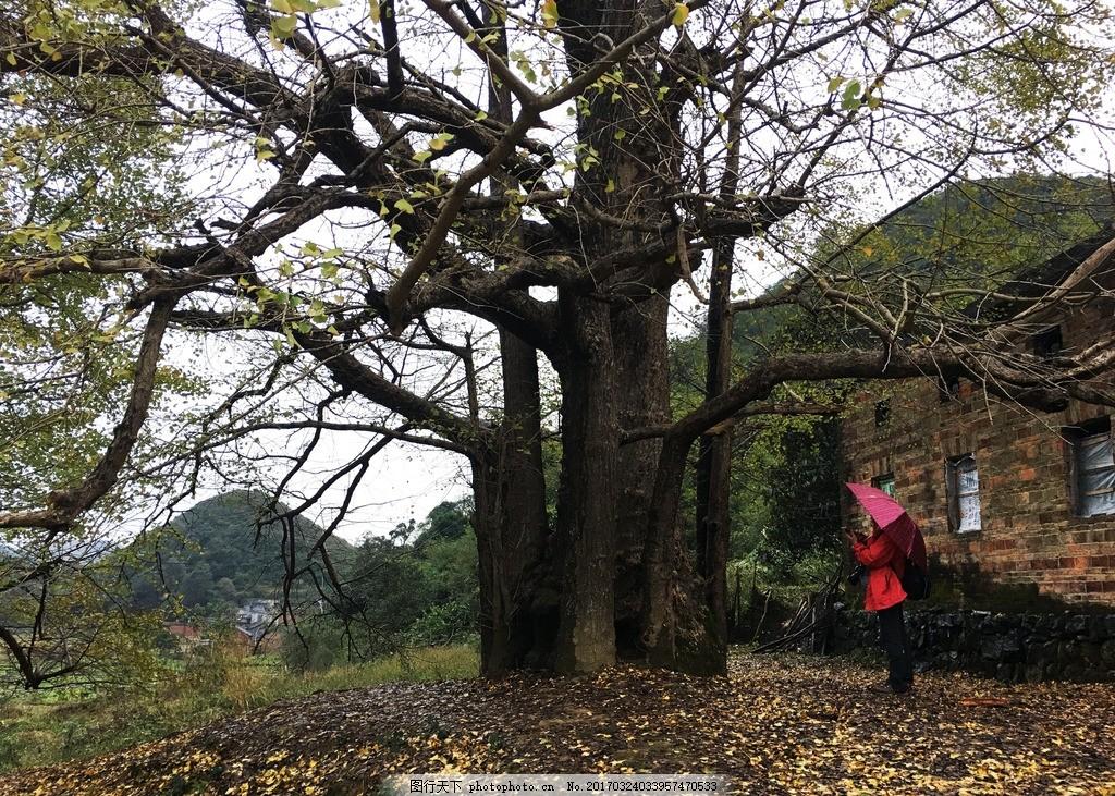 千年银杏 广东 连州 连南 偏僻 千年古树 旅游 原生态 自然 古村 山村