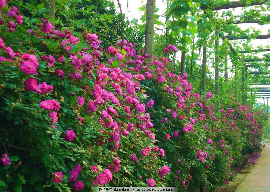 蔷薇 蔷薇花 粉色蔷薇 鲜花 鲜花瀑布 自然风景 摄影 自然景观 自然