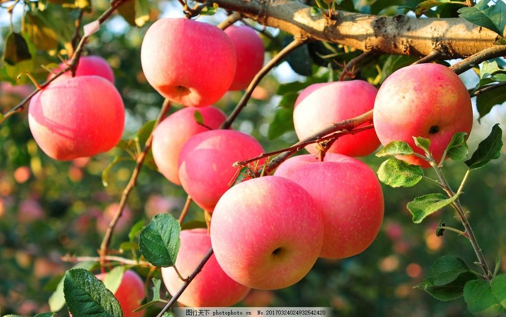 苹果 果树 果园 苹果树 苹果园 自然风景 摄影