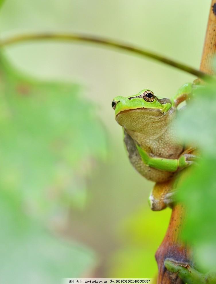 唯美 可爱 生物 动物 野生 树蛙 摄影 生物世界 野生动物 300dpi jpg