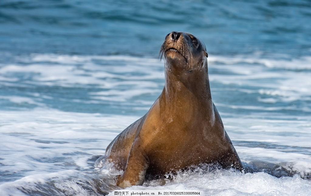 海豹 大海 海浪 海洋动物 野生动物 摄影 素材 动物飞鸟昆虫禽类 摄影