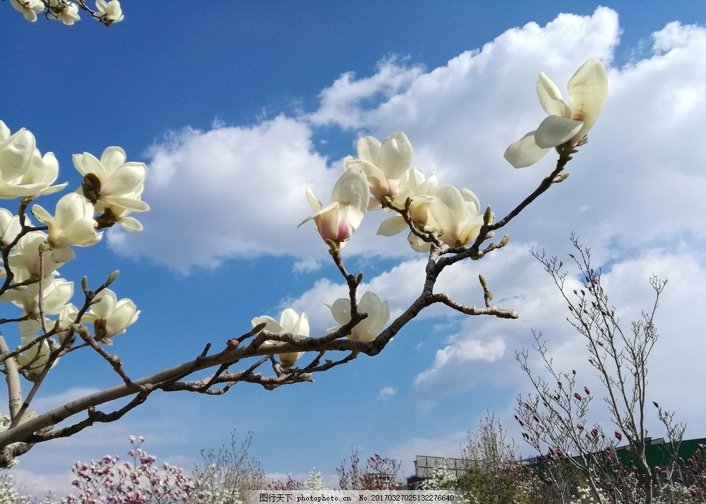 蓝天白云玉兰花 背景 花开 枝头 树梢 植物 植物王国 摄影