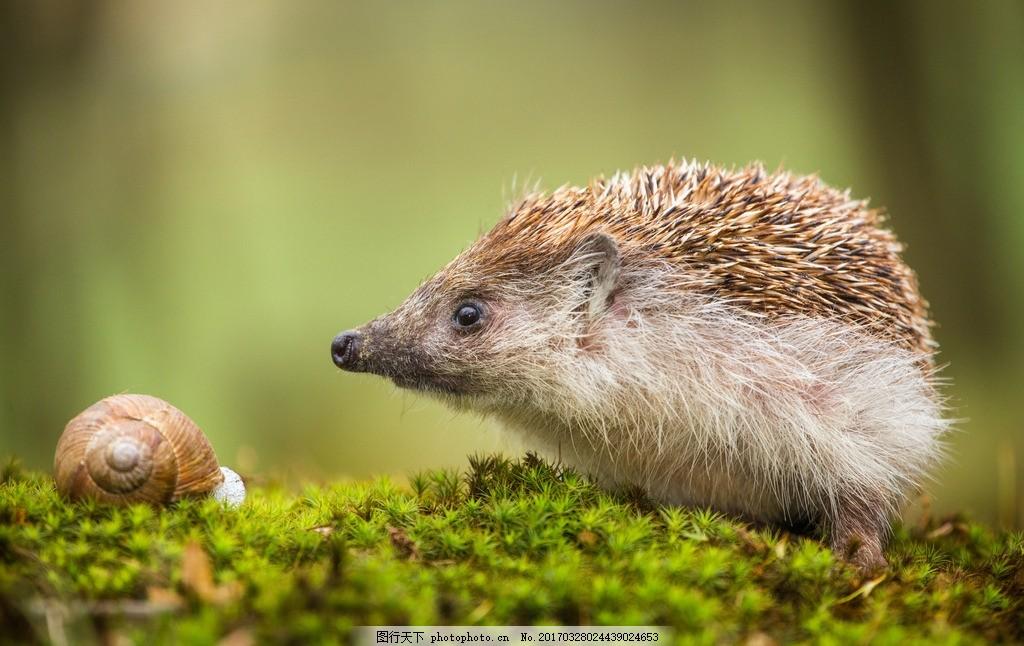 可爱的刺猬 刺猬 小刺猬 豪猪 动物 野生动物 小动物 摄影 素材 动物