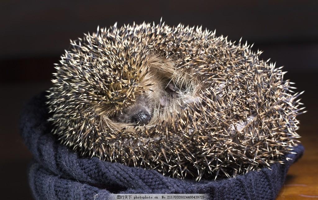 睡觉的刺猬 刺猬 小刺猬 豪猪 动物 野生动物 摄影 素材 动物飞鸟昆虫