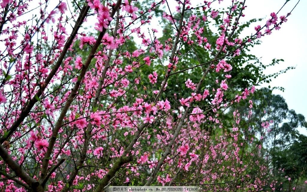 海棠花粉色 白色海棠花 红色 粉色的花 海棠树 蓝天 大自然 花海 花