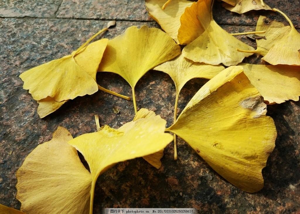 银杏叶 摄影 金色 城市 落叶 散落 纷飞 叶子 黄色 秋天 秋色