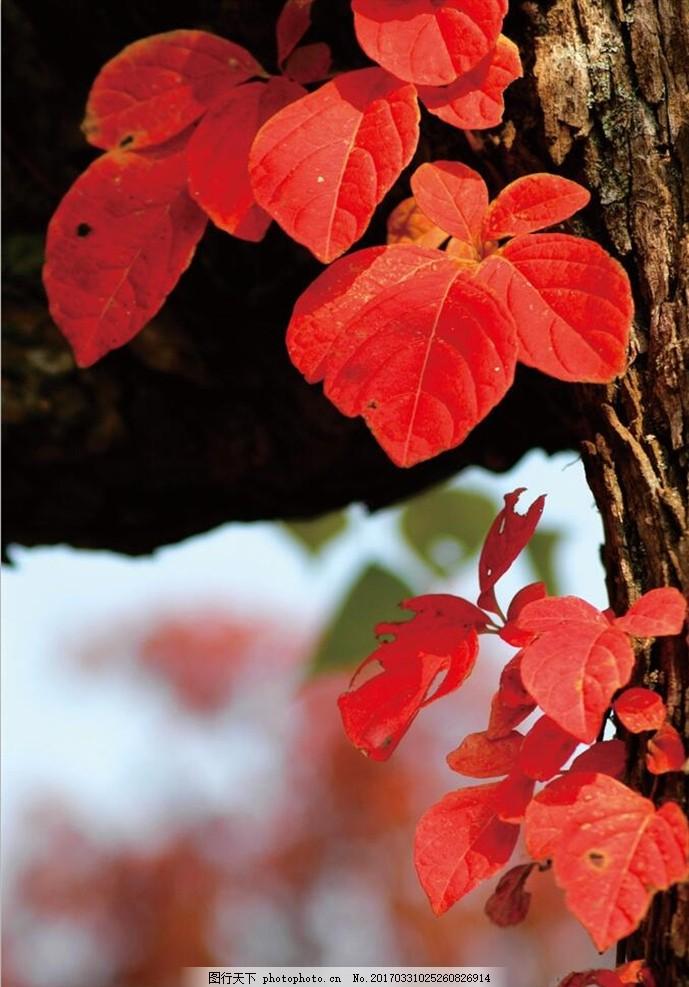 红色树林风景图 红枫树 摄影 壁画 自然风景